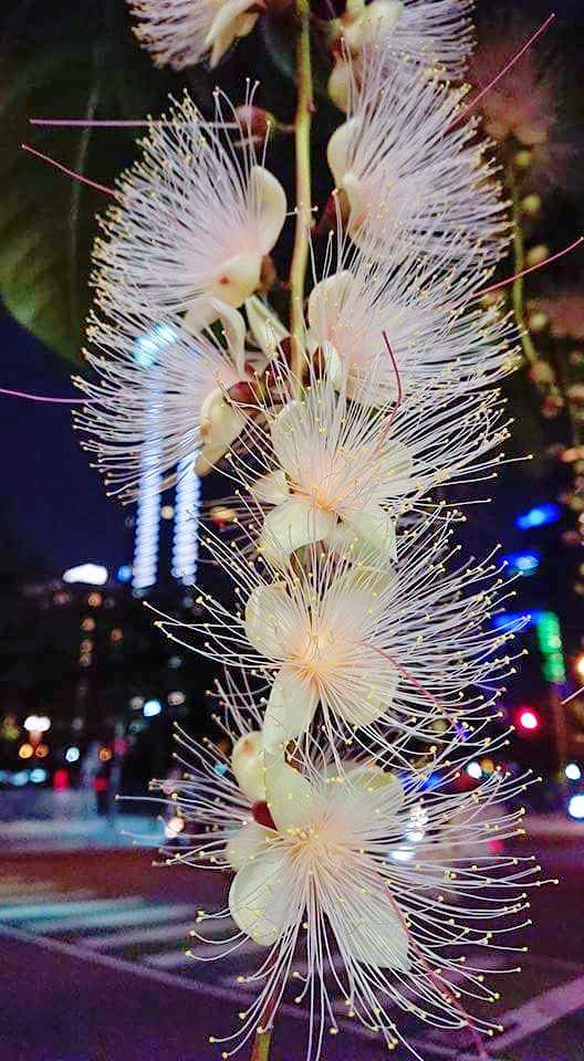 20180531213843 13 - 樹上放煙火啦!超仙穗花棋盤腳很神秘,晚上開花天一亮就掉光光……