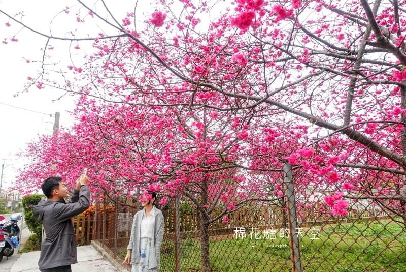 台中櫻花大開了!新社櫻花私房景點不藏私公開啦!