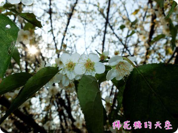 《梅花最後追追追》台中市區就有梅花園,快來雙十國中賞樹上白雪
