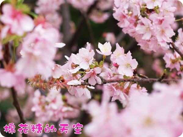《櫻花新竹追追追》粉色河津櫻與你浪漫相約在玻璃工藝博物館
