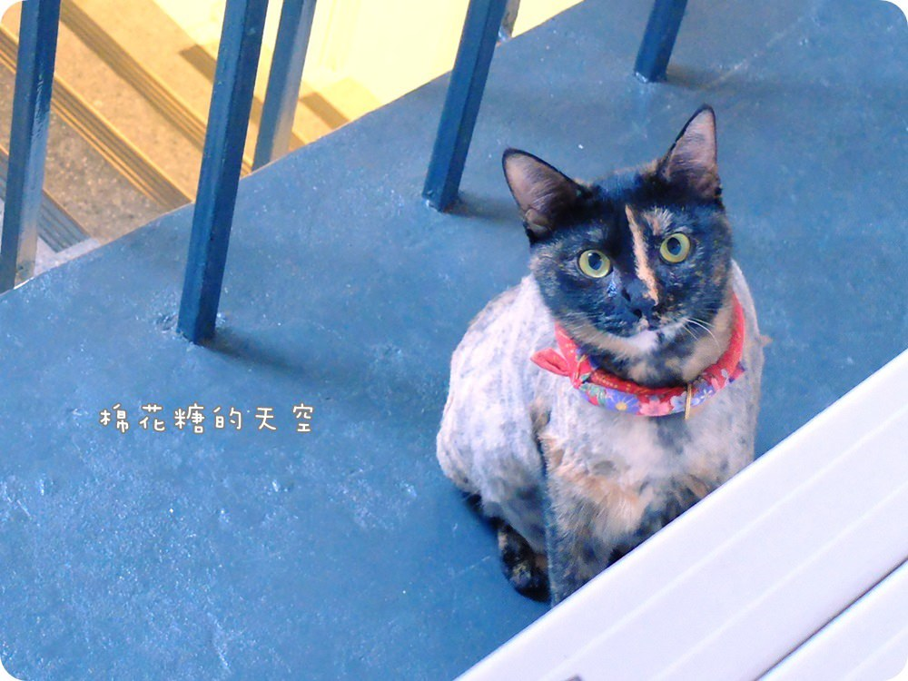 店貓愛紗4.JPG