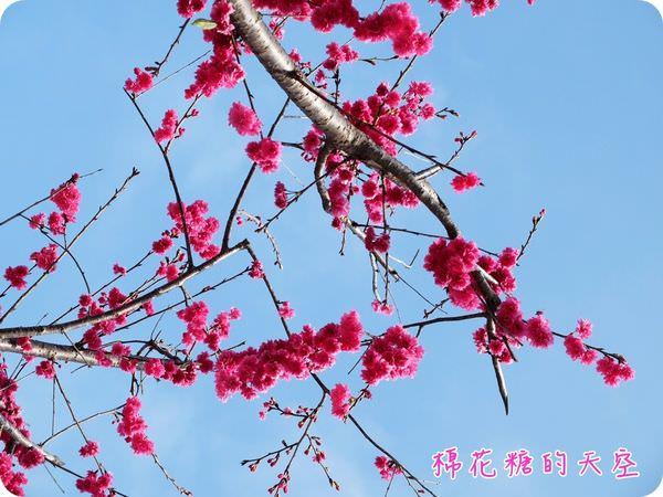 00櫻花天空