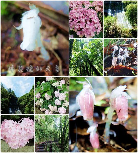 《南投景點》來趟杉林溪,尋覓天使種下的植物-『水晶蘭』
