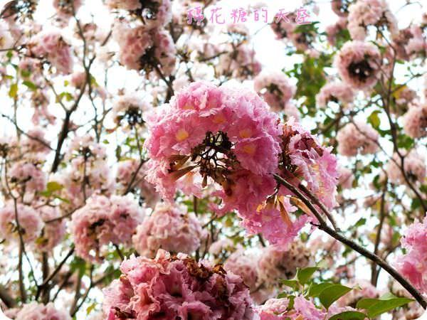 《台中景點》台中南區大智公園~浪漫粉紅風鈴木開放中~