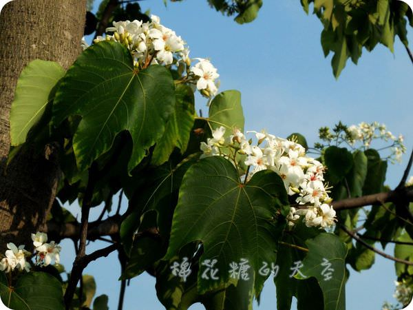 《油桐花搶先追》台中太平廍子溪旁社區公園四月雪搶先下,油桐花開囉!