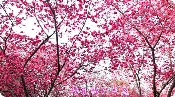 《桃紅櫻花追追追》新社喬木咖啡,櫻花已經開滿山囉~